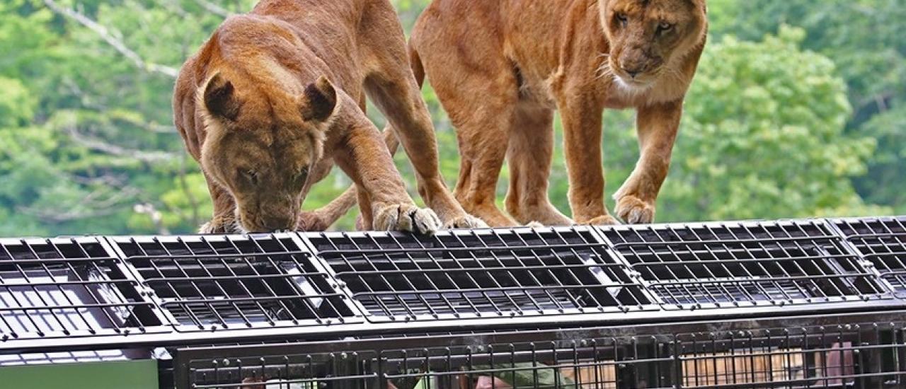 พาเที่ยว Fuji Safari Park สวนสัตว์ที่ใหญ่ที่สุดในญี่ปุ่น
